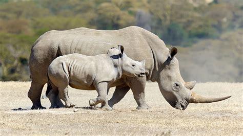 imagenes rinoceronte blanco el rinoceronte blanco un gigante en peligro de extinci 243 n