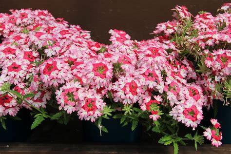 verbena fiore la verbena fiori da giardino pianta verbena
