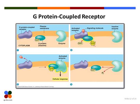 g protein coupled receptors animation cell communication chapter 11 abridged ppt
