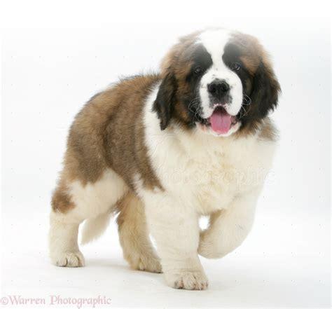 st bernard puppies bernard puppies for adoption bazar