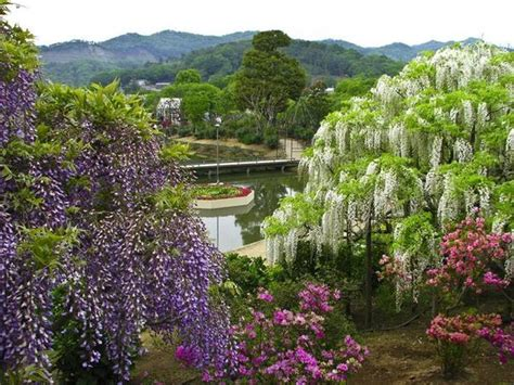 wisteria in japan glory s garden wisteria of japan