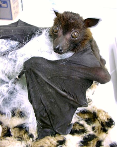 cute baby flying fox bat bats images flying fox bat wallpaper and background