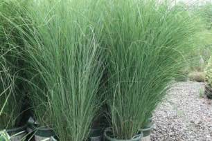 Tall Flowering Shrubs For Shade - russell s photo gallery plant material 187 ornamental grasses 187 maiden miscanthus