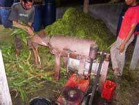 Ragi Untuk Fermentasi Jerami 9 pakan fermentasi untuk kambing budiyanto