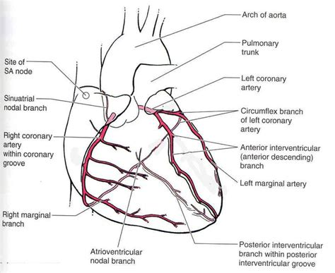 diagram of coronary arteries 121 best images about cardiac cath on
