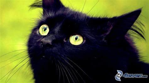 imágenes gato negro gato negro