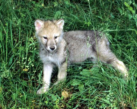 Home Decor Online Sale by Gray Wolf Cub Photograph By Larry Allan