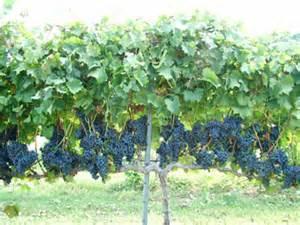 Training Grape Vines Pergola by Trellis Systems Vertical Shoot Position Extension