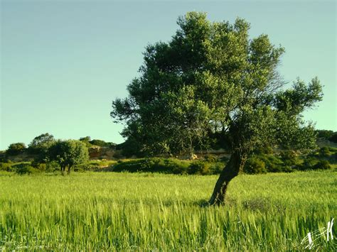 olive tree wallpaper olive tree 1 by tornquist on deviantart