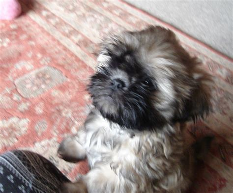 gold shih tzu puppies pedigree gold shih tzu puppy ready now dudley west midlands pets4homes