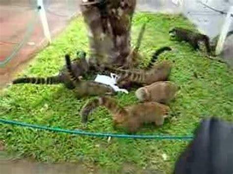 coati attack pit bulls and coatimundis doovi