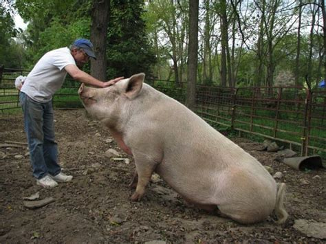 filme schauen the biggest little farm they all love to be loved i love pigs pinterest