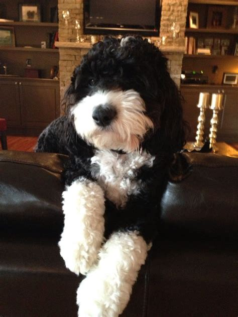 aussiedoodle puppies hair cuts aussiedoodle hair cuts hairstylegalleries com