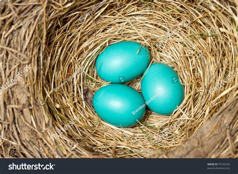 bluebird eggs color blue bird eggs new nest stock photo 76733236