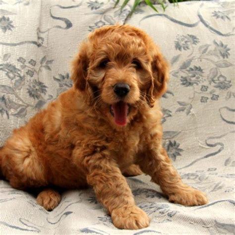 goldendoodle puppy health 17 best images about goldendoodle on children