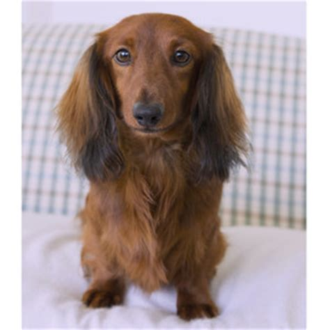 dachshund puppies for sale 300 miniature haired dachshund puppies for sale dikerdachs