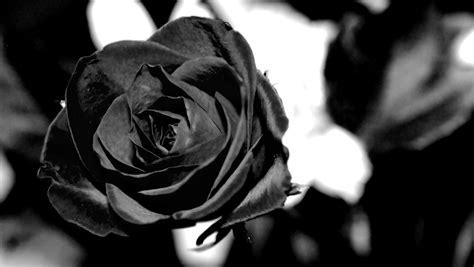 rosa nera fiore rosa nera significati e curiosit 224 rubber plastic