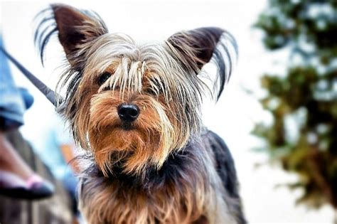 interesting facts about yorkies 10 facts about terriers and why we them pet sitters ireland pet