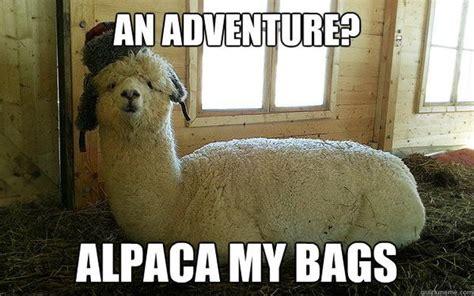 Alpaca Sheep Meme - internet goes into frenzy over llama chase backstageol com