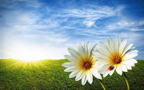 imagenes flores en hd dos flores blancas fondos de pantalla hd wallpapers hd