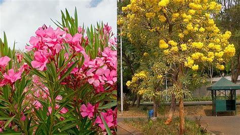 bunga jepun oleander tanaman hias populer  indonesia