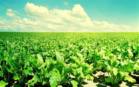 green vegetable wallpaper beet field desktop wallpaper