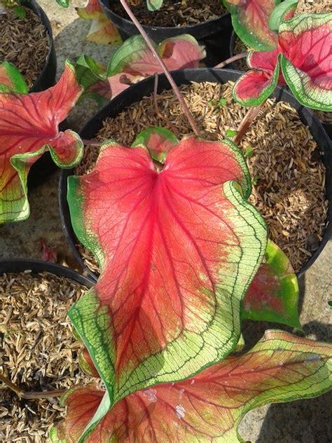 jual tanaman hias keladi florida bangkok kayyisa fam