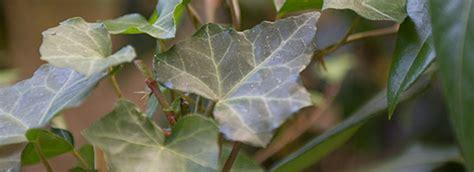 ivy pattern variables inspiration bernaville nurseries