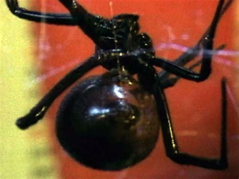 deadly mates: black widow spiders