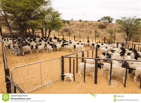 Cape House Plans a herd of dormer sheep crowded in a stable stock photo