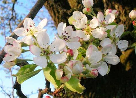 fiori pero pero selvatico fioritura primaverile pollicegreen
