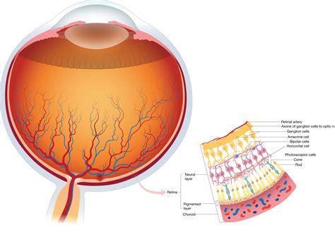 retina diagram image gallery retina anatomy