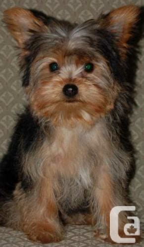 yorkies for sale in manitoba puppies for sale for sale in winnipeg manitoba classifieds canadianlisted