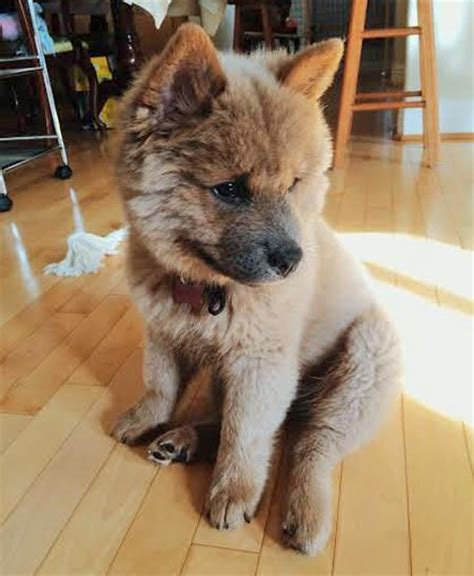 husky chow puppy 25 best ideas about chow chow husky mix on cutest mixes corgi husky