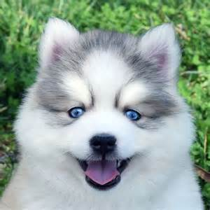 Teacup pomsky full grown viewing gallery for pomsky