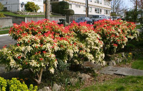 Flowering Currant Shrub - japanese andromeda pieris japonica brilliant spring red