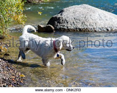 golden retriever puppies in arkansas adorable golden retriever puppy swimming stock photo royalty free image 115112624