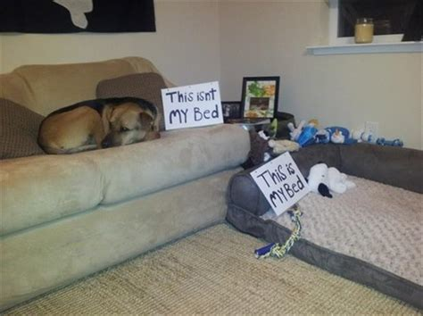dog on the couch dog shaming memes
