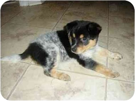 blue heeler yorkie mix zoe adopted puppy claymont de australian cattle blue heeler mix