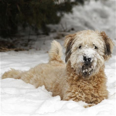 celebs with wheaten terrier celebrities who own wheaten terriers search results