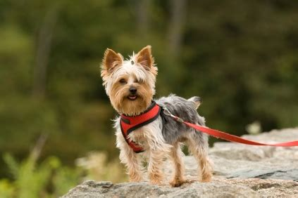 personality of yorkies terriers temperament personality