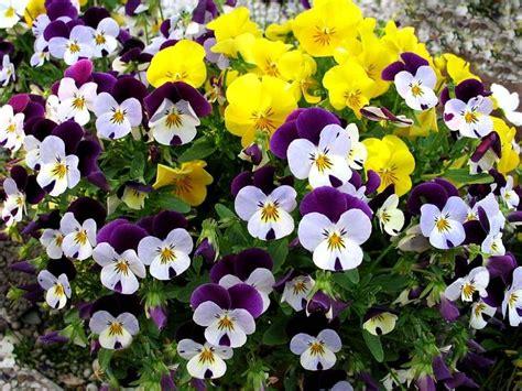 panse fiore panse o violetta pensiero