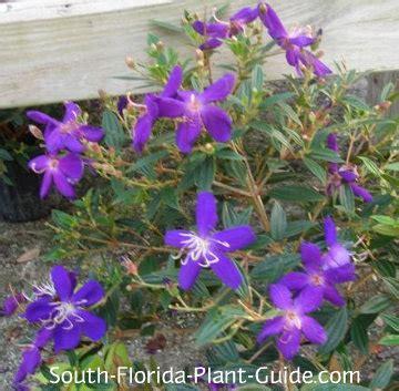purple flowering shrubs in florida tibouchina