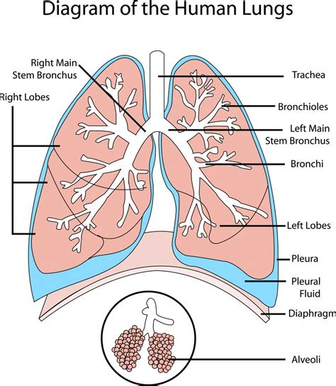 chest anatomy diagram lungs diagram how do we breathe lungs and pleura