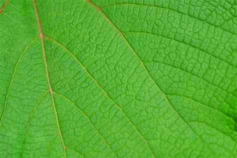 imagenes hojas de sen image gallery hojas verdes 4