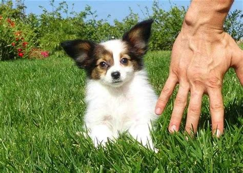 papillon for sale papillons for sale ads free classifieds