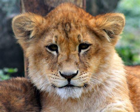 imagenes full hd de leones cachorro le 243 n hd 1280x1024 imagenes wallpapers gratis