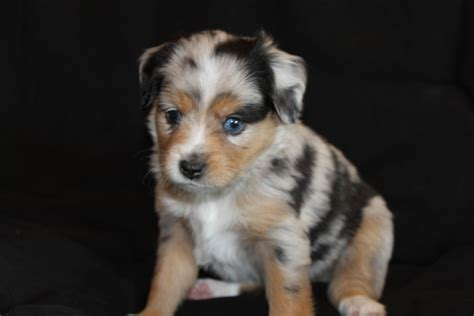 blue merle australian shepherd puppies january 2013 alangus mini aussies a