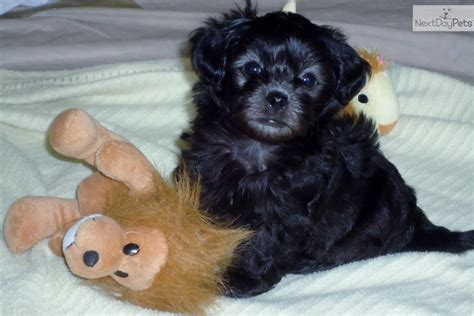 yorkies for sale in houston yorkiepoo yorkie poo puppy for sale near houston 43c585ae