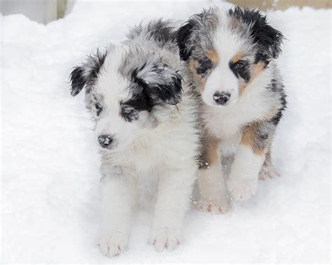 puppies in snow motion aussie shepherd puppies in the snow